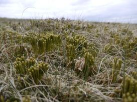 Alpine club moss, Pumlumon