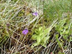 Butterwort, Cwm Bochlwyd