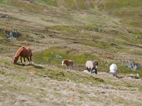 Carneddau ponies, Foel Fras