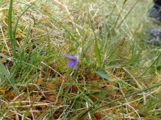 Common dog violet, Carneddau