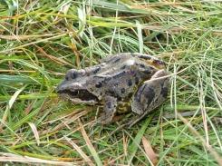 Common frog, Angle Tarn, Bowfell