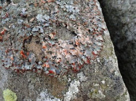 Crottle lichen, Langdale Pikes