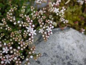 English stonecrop, Cwm Trwsgl