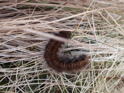 Fox moth caterpillar, Skiddaw