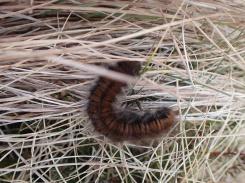 Fox moth caterpillar, Skiddaw