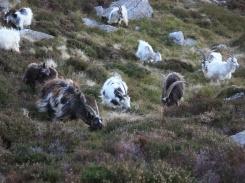Goats, Cwm Tryfan
