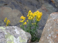 Goldenrod, Cwm Idwal
