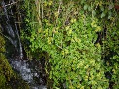 Golden saxifrage (opposite leaved), Carmarthen Fan
