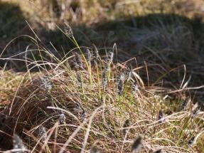 Hare's tail cotton grass, Pumlumon