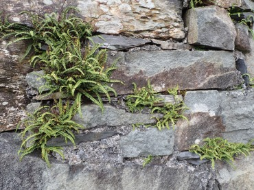 Maidenhair spleenwort, Cnicht