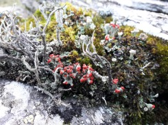 Matchstick lichen, Nanmor