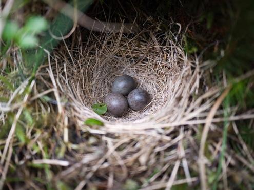 Meadow pipit nest, Cwm Bochlwyd