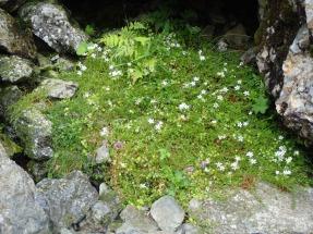 Mossy saxifrage, Cwm Idwal