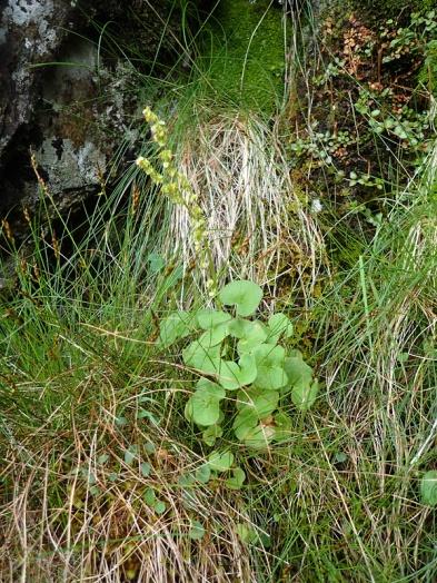Mountain sorrel, Cwm Idwal