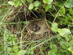 Meadow pipit nest in Cwm Bochlwyd