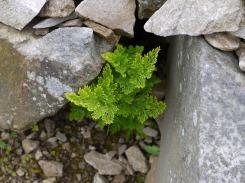 Parsley fern, Carneddau