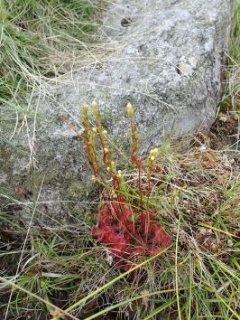 Round-leaved sundew, Sty Head