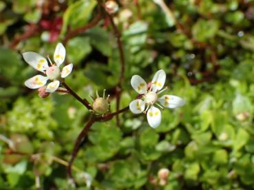 Starry saxifrage, Glyder Fawr