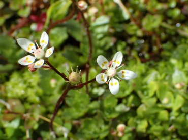 Starry saxifrage, Glyder Fawr
