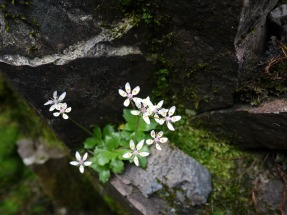 Starry saxifrage, Scafell