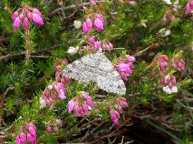 Striped twin-spot carpet moth, Cwm Bochlwyd