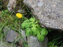 Welsh poppy, Cwm Idwal