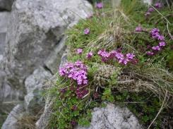 Wild thyme, Cwm Bochlwyd