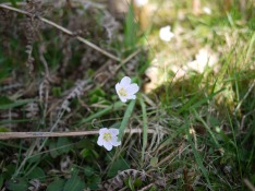 Wood sorrel, Brown Clee