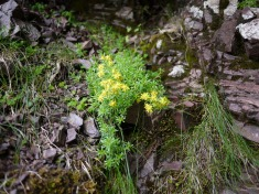 Yellow mountain saxifrage, Scafell Pike