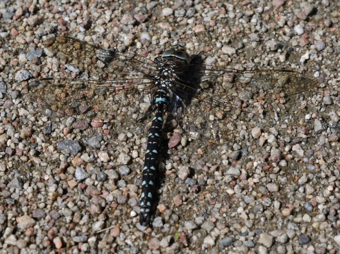 Common hawker, Rannoch Moor