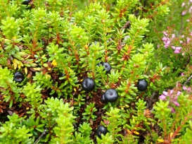 Crowberry, Schiehallion
