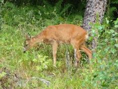 Roe deer, Loch Rannoch