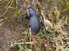 Violet ground beetle, Ben Lawers