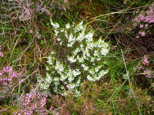 White ling, Schiehallion