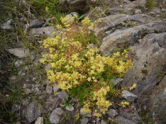Yellow mountain saxifrage, Tarmachan ridge