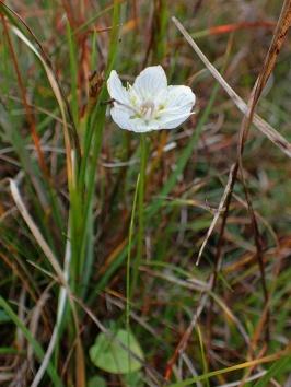Grass of Parnassus, Crimpiau