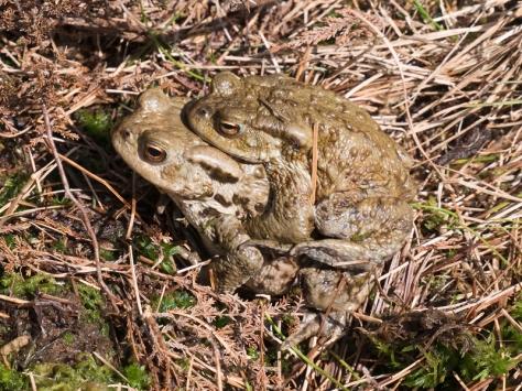Common toad, Cadair Berwyn
