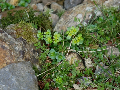 Golden saxifrage (opposite leaved), Cwm Idwal
