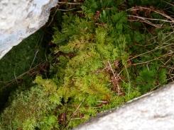 Tamarisk moss, Cwm Idwal