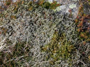 Woolly hair moss, Moel Siabod