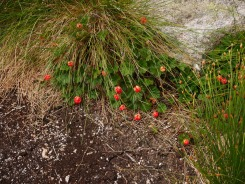 Cloudberry, Cairngorms